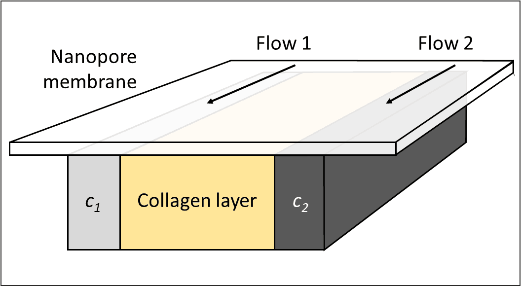 Chamber principle: Two different concentrations pass microchannels which are separated from a collagen reservoir by a pore membrane