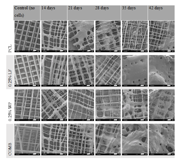 SEM micrographs of scaffolds cultured at 14, 21, 28, 35, and 42 days. Scale bar = 200 µm
